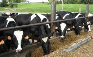 cows_feeding_time